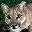 picture of P-45 mountain lion